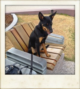 Jed the dog at Redcliffe