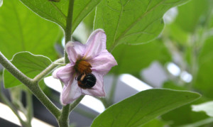 Blue bottom native bee on eggplant flower