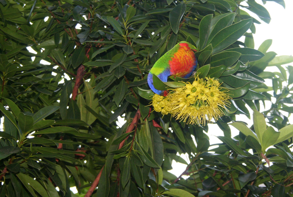 Australian Lorikeet eat pray workout
