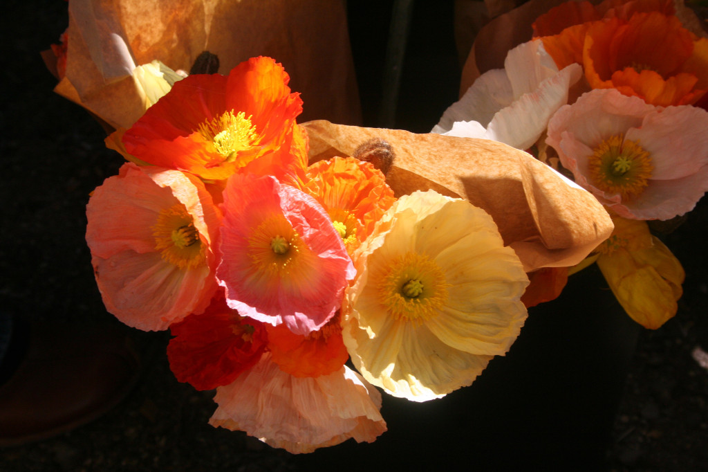 coloured poppies