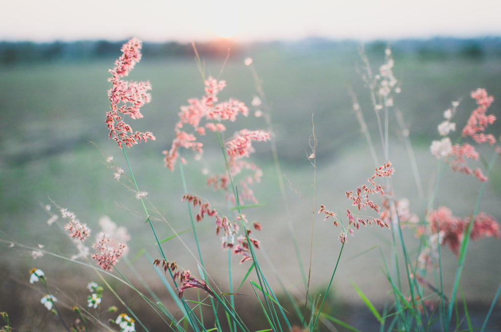 pink grass in the wind