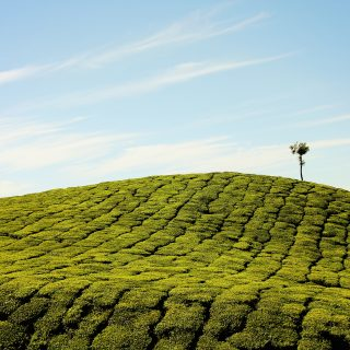 Green tea leaf farm and blue sky