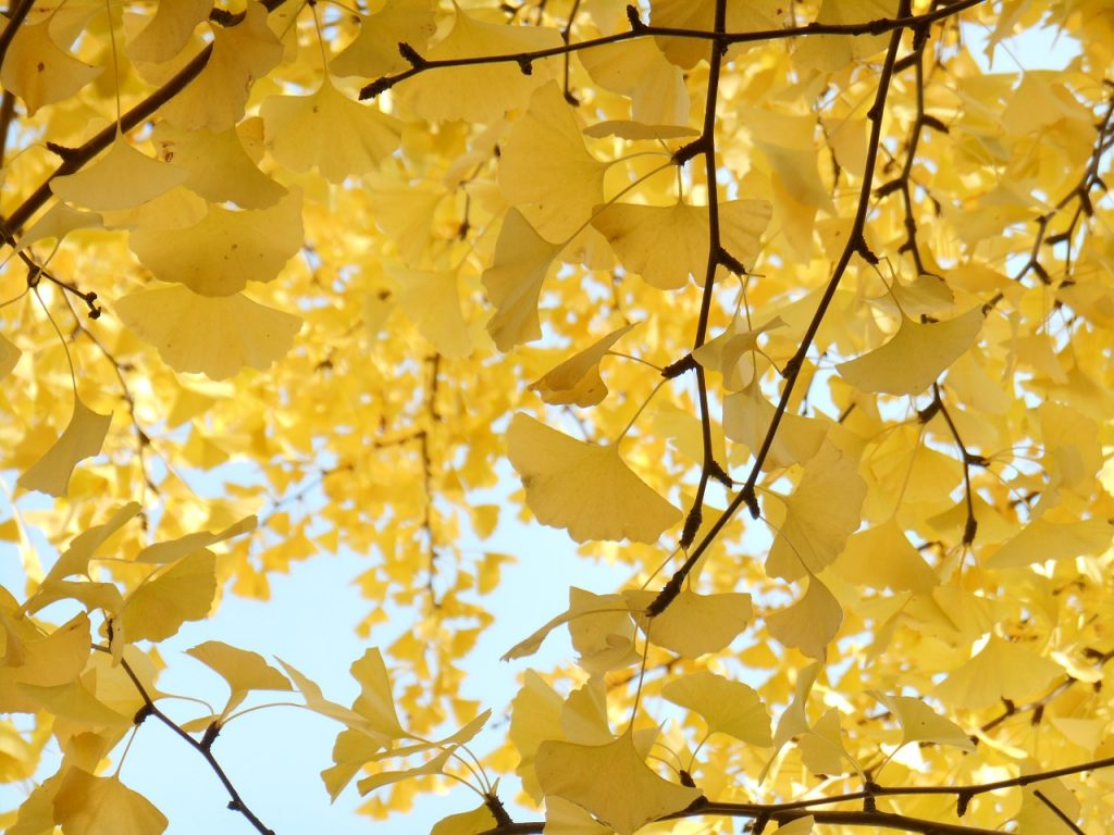 yellow-leaves-1292801_1280