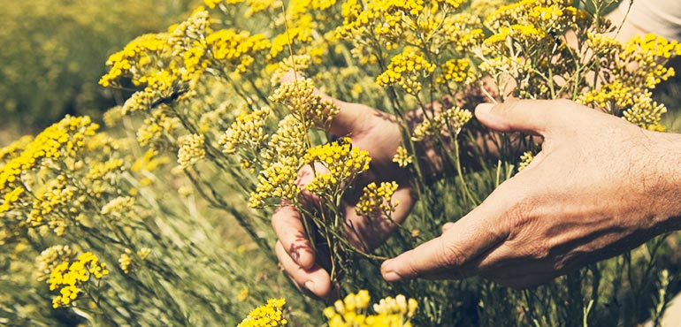 immortelle flowers in field with hands l'occitane