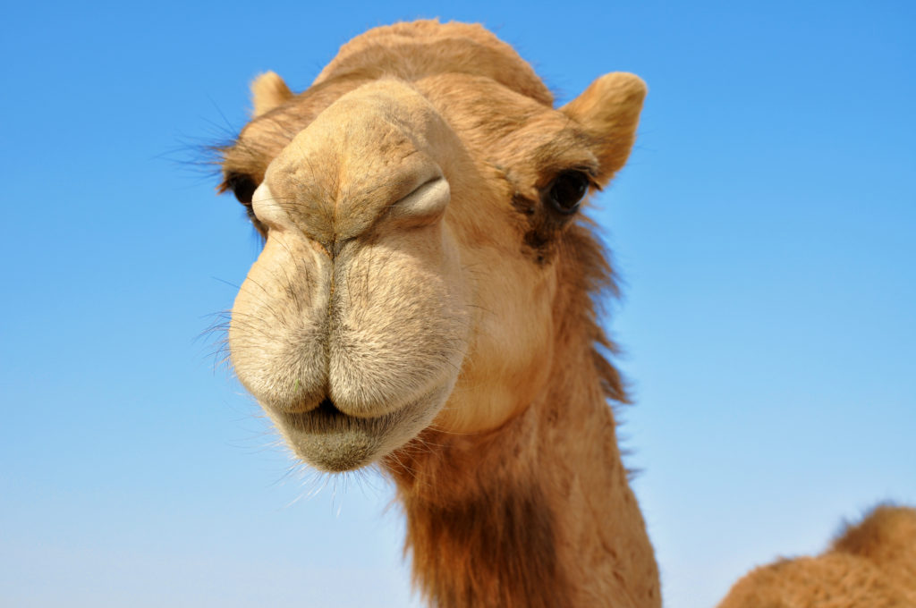 camels milk products are the new skin care craze Australian Summer Land camel smiling
