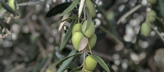 Discovering the Benefits of Extra Virgin Olive Oil with Cobram Estate