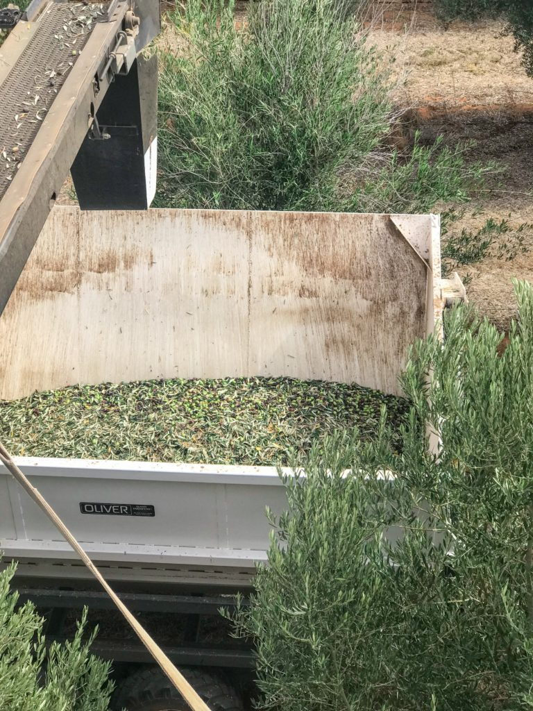 Cobram Estate Olive Oil Influencers and Professionals Trip 2018 Olive Harvesting Process