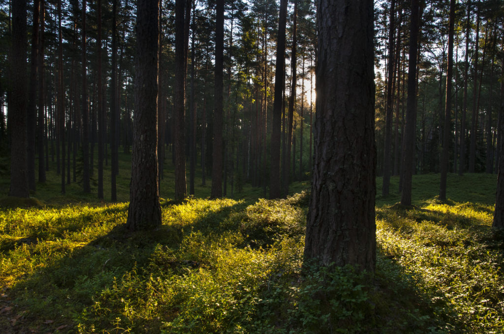 Pine forest in late afternoon light - benefits of nature on health