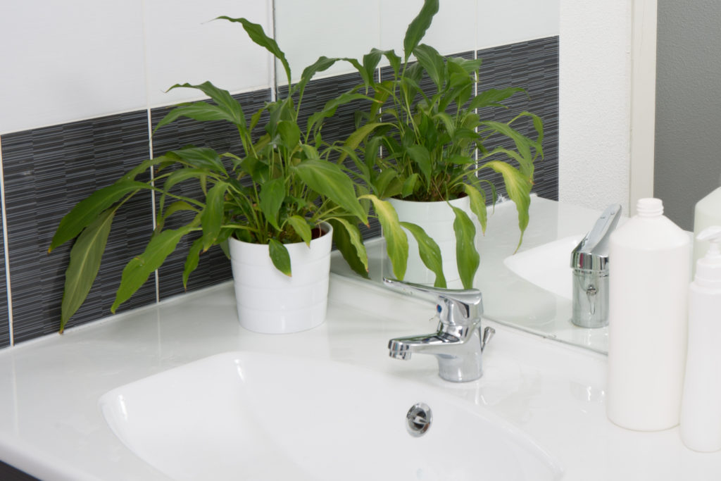 Philodendron plant on bathroom sink - bringing nature indoors