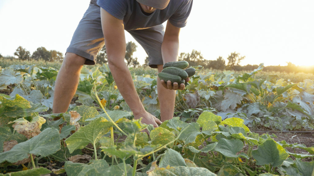 Young male farmer harvesting crop of ripe cucumbers on big field in beautiful evening sun at organic eco farm. Real working process at eco farmland in Australia.Should I switch to buying organic food in Australia? An interview with Andrew Monk Australian Certified Organics Chairman