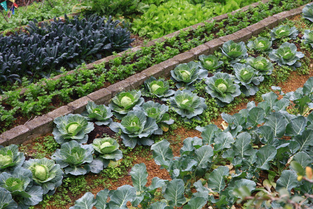 Organic farming crops lettuce Should I switch to buying organic food in Australia? An interview with Andrew Monk Australian Certified Organics Chairman