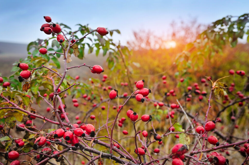 Rosehip bush on a nice autumn background at sunset